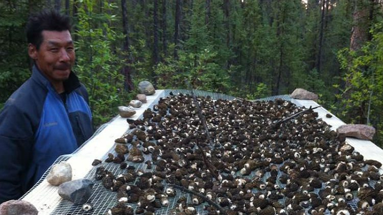 Morel mushroom harvesting