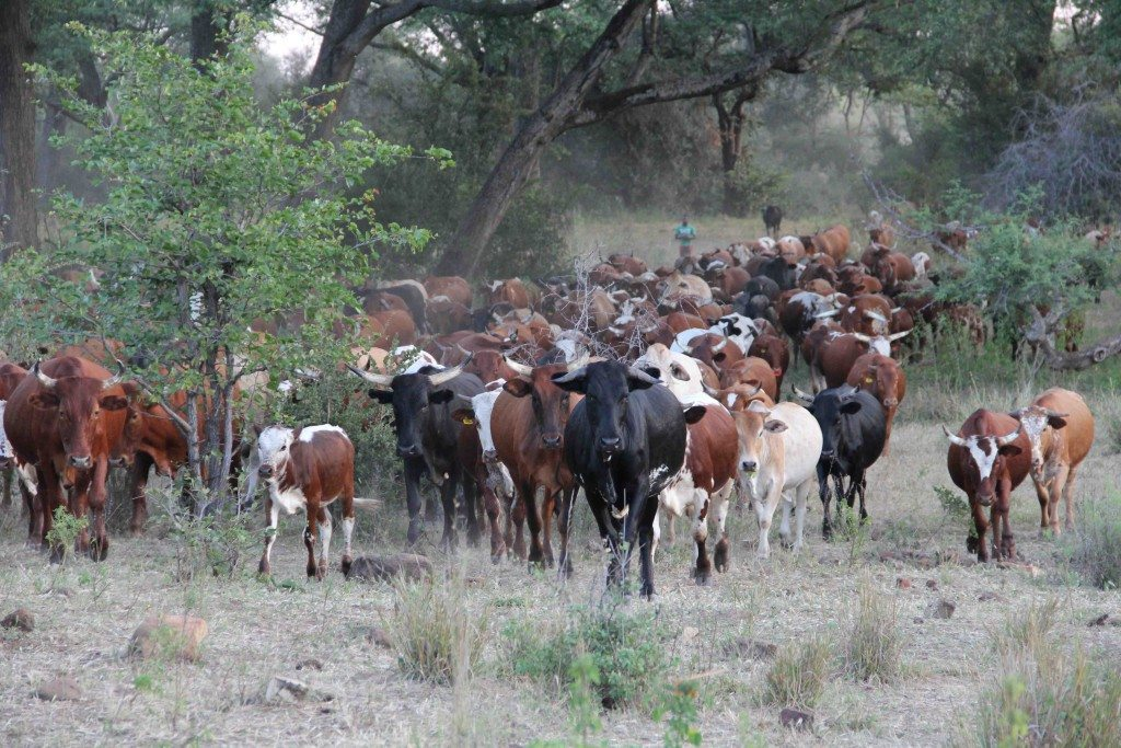 Cattle from the African Centre for Holistic Management.