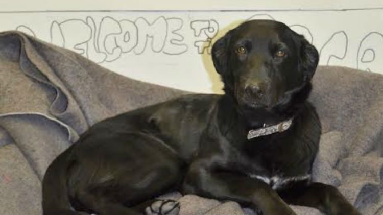 Jasmine, a lab mix looking for a new home, enjoys one of the blankets donated by De Beers.